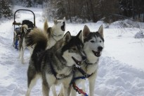 Who let the dogs out? Husky sled team in Canada