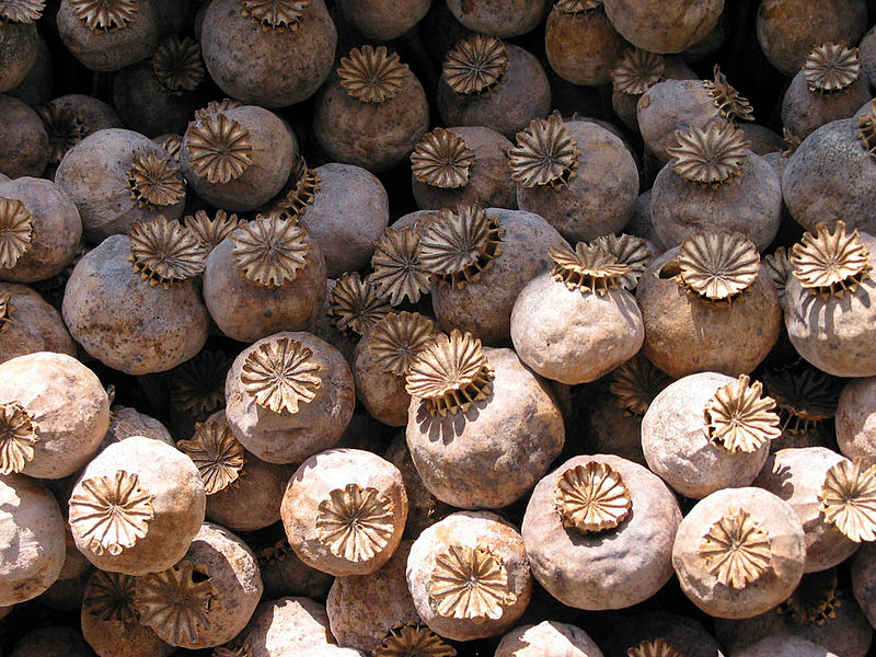Harvested poppy capsules
