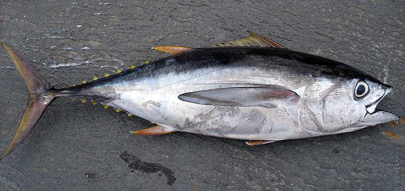 A bigeye tuna