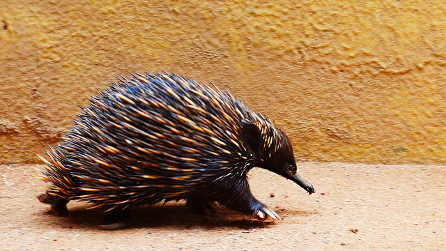 Echidna on the Run
