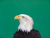 Will the bald eagle call on Australia?