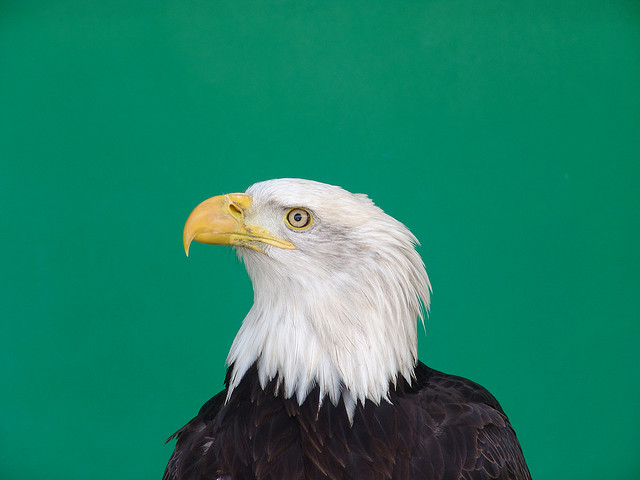 Will the bald eagle call on Australia?